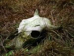 Nature and Decay - Rotting Bull Skull