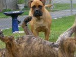Brindle & Red Bullmastiffs
