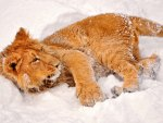 Big lion cub, enjoying snow