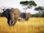 Elephants wandering