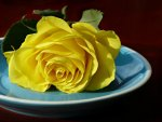 Yellow rose on a plate