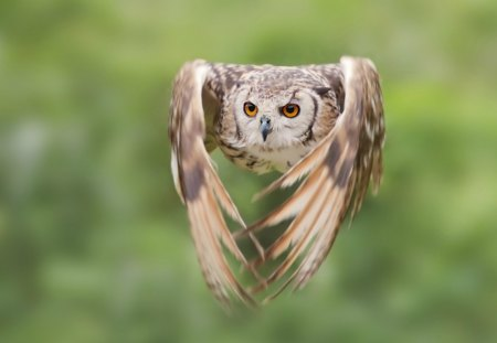 Owl in flight - owl, wings, close up, bird