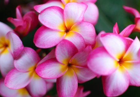 Plumeria flowers nature background wallpapers on desktop nexus plumeria pink plumeria flower flowers yellow nature beautiful plumeria mightylinksfo
