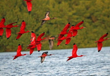 Scarlet - scarlet, birds, water, flying, red