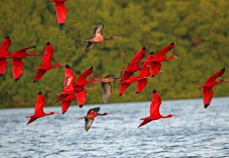 Scarlet - scarlet, birds, water, flying, red