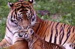 Bengal Tiger and its Cub