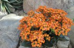 Kalanchoe day photography 33