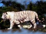 White Tiger f