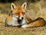 Fox squinting