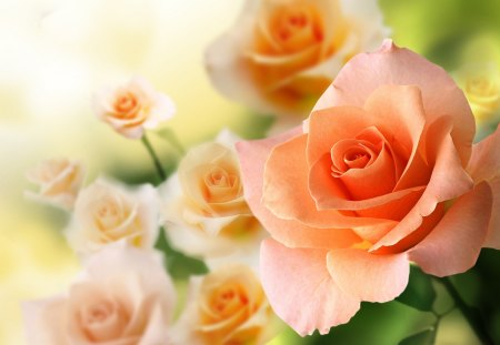 peach roses flowers nature background wallpapers on desktop nexus image 1435825 peach roses flowers nature