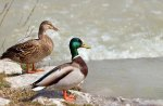 Wild Ducks Couple