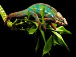 Young Cameleon