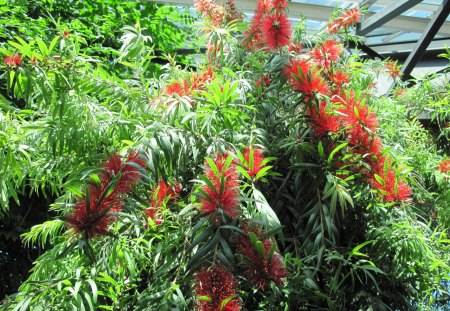 weeping bottlebrush tree from Australia - red, tree, photography, green, garden, Flowers