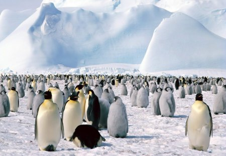 Penguins in Antarctica - winter, cold, mountain, snow, ice, antarctica, northpole, white, penguins, fur, animals