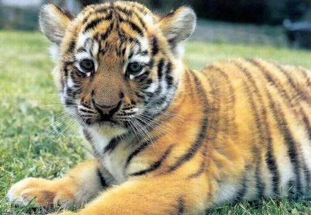 Baby Tiger - cute, adorable, tiger, baby