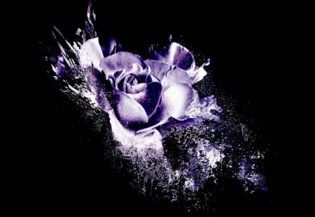 Purple Rose - Flowers & Nature