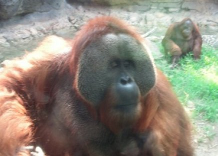zoo - primate, hairy