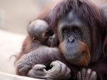 Monkey - orangutan