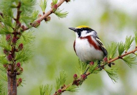 Orioles bird - animal, nature, cute, bird