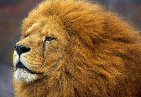 Lion Portrait Cats Animals Background Wallpapers On Desktop