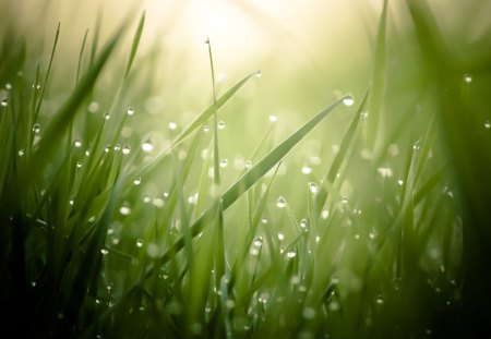 The Morning Dew - Sunrise, Nature, Grass, Dew
