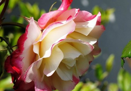 Fresh   beautiful  rose - fresh, flowers, bicolor, colors, petals, nature, freshness, natural, beauty, rose, soft, delicate, garden