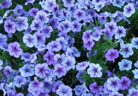 Happy Violet Petunias - pretty, warm, abstract, happy, round, green, flowers, garden, nature, petals, violet, blooms, petunias, star, nectar