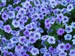 Happy Violet Petunias