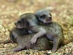 Newborn meerkats