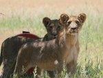Alert lion cubs