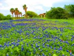 Bluebonnet time in Texas