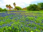 Bluebonnet time in Texas