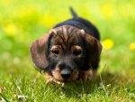 Hot dog pup