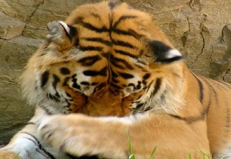 Now I Lay Me Down To Sleep - tiger, cats, big cats, animals