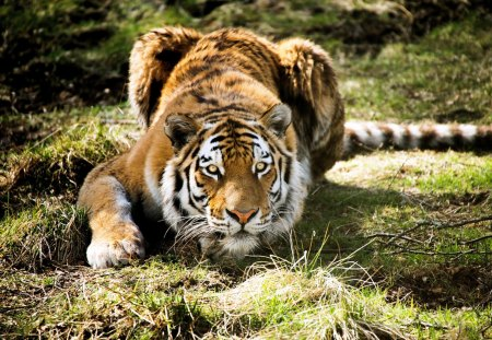 Hunting for a prey - tiger, prey, food, hunting
