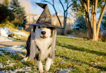 halloween - hallowen, event, hat, dog