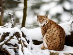 Lynx in a snowy forest