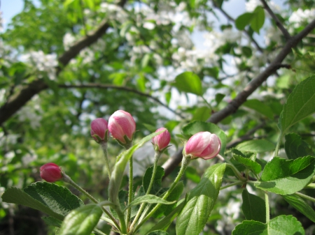 Apple blossom - apple tree, spring, macro, blossom, flower