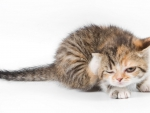 Kitten scratch