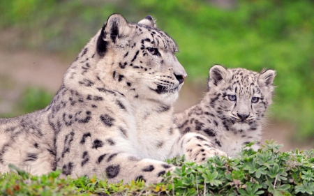 Snow leopards - leopard, feline, love, mom, cub, mother, animal