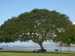 Ala Moana Beach Park (Monkey Pod Tree)