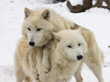 Arctic Wolves - snow, arctic wolves, wolves, animals, dogs