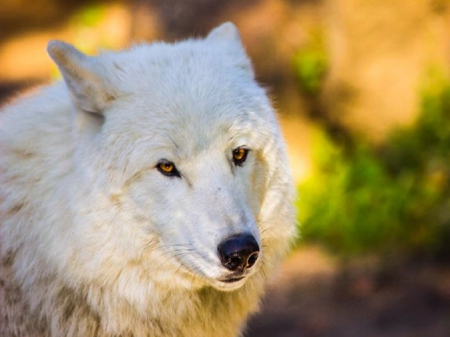 Golden Eyes - golden eyes, white wolf, wolf, animals, dogs