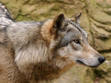 Loving Wolf - nature, wolf, animals, dogs