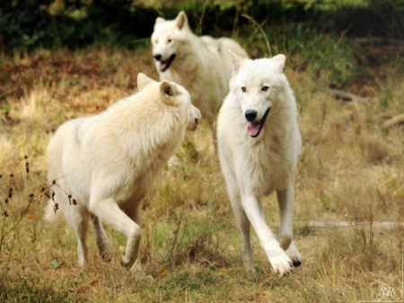 Having So Much Fun - nature, wolves, animals, dogs