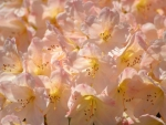 Rhododendron  peach