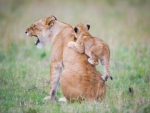 Lion with playful cub