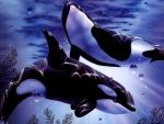 orca's swimming