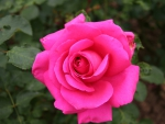a Pink Rose outside