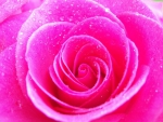 Unbelievably Beautiful Vibrant Pink Rose